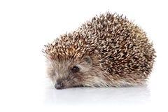 Prickly hedgehog Royalty Free Stock Photo