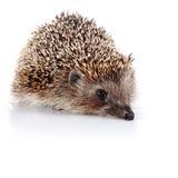 Prickly hedgehog Royalty Free Stock Photos