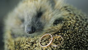 Prickly hedgehog on photosession with gold wedding rings indoors. Cute funny young urchin sleeping on wooden table. Grey small mammal animal with wet nose stock video footage