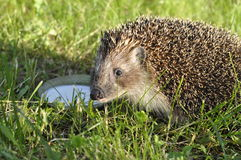 Prickly hedgehog. Sitting on the green grass and says thanks for milk Stock Photos