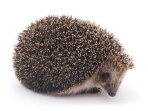 Prickly hedgehog. Royalty Free Stock Image