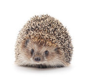 Prickly hedgehog. Stock Images