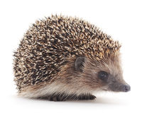 Prickly hedgehog. Stock Photo