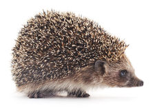 Prickly hedgehog. Royalty Free Stock Photography