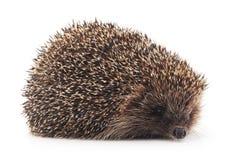 Prickly hedgehog. Stock Image