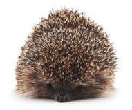 Prickly hedgehog. Stock Photo