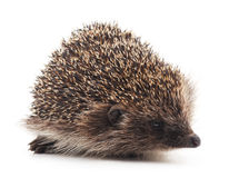 Prickly hedgehog. Royalty Free Stock Images