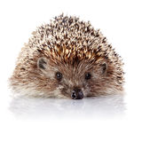 Prickly hedgehog on a white background Stock Photos