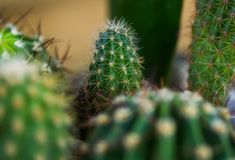 Prickly house cactus Stock Photography