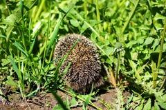 prickly igelkott Arkivfoton