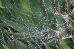 Prickly kaktus efter regn Arkivbild
