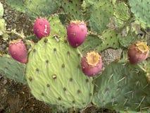 prickly kaktuspear Arkivfoto