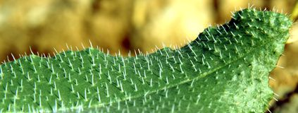 Prickly leaf plant. A green prickly leaf plant in the nature royalty free stock photo