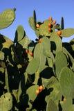 prickly mexikanska pears Arkivbilder