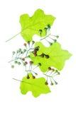 Prickly nightshade. Turkey berry, Prickly nightshade, Shoo-shoo bush, Pea eggplant (Solanum trilobatum L.) isolated on White Background royalty free stock photo