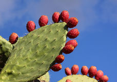 Prickly pair cactus Royalty Free Stock Photography