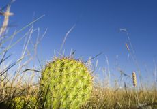 Prickly pear. A cactus at ground level stock images