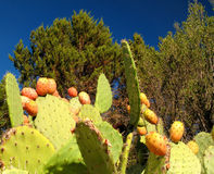 Prickly pear. Some prickly pears in Sardinia (Italy royalty free stock image