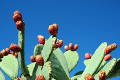 Prickly pear. Sicily ... in September the maturation of the prickly pear Royalty Free Stock Photography