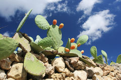 Prickly pear. A prickly pear plant in Malta Royalty Free Stock Photo