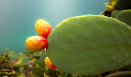 Prickly Pear. A cactus with mellow Fruits near the Mediterranean See Stock Images