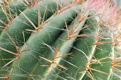 Prickly pear Arkivfoton