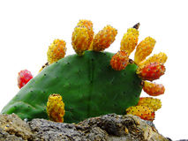 Prickly pear Royalty Free Stock Images