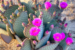 prickly pear Royaltyfri Bild