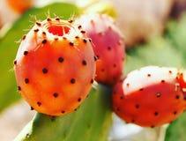 prickly pear Royaltyfri Foto
