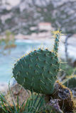 prickly pear Royaltyfri Fotografi