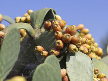 PRICKLY PEAR. Prickly pear against blue sky puglia italy Stock Photography