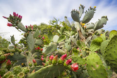 Prickly Pear in Bloom Royalty Free Stock Photography
