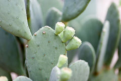 Prickly Pear Buds Royalty Free Stock Images