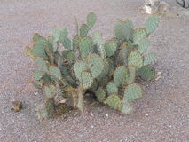 Prickly Pear Cacti Cactus Stock Photography