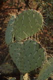 Prickly Pear Cactus. In the Coconino National Forest royalty free stock photography