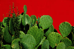 Prickly Pear Cactus. Green prickly pear cactus growing in front of a red wall Stock Image