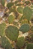 Prickly Pear Cactus. A field of spiny prickly pear cactus growing in the Arizona desert stock images