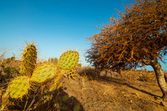 Prickly Pear Cactus. A cactus in a desert next to a leafless twisted tree Royalty Free Stock Image