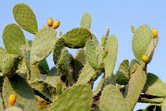 Prickly pear cactus. Against the sky Royalty Free Stock Images