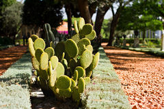 Prickly pear cactus Stock Images