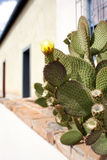 Prickly pear cactus. On adobe building ledge Stock Photo