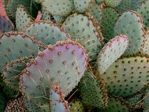 Prickly Pear Cactus. At Mom & Dad's in Mesa, Arizona, USA royalty free stock photos