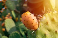 Prickly pear cactus with abundant fruits. Opuntia ficus-indica closeup view. royalty free stock photos