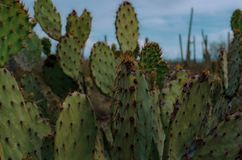 Prickly pear cactus perspective. Prickly pear cactus audience waiting to be seen  in Saguaro National Park Royalty Free Stock Photography