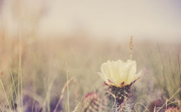 Prickly Pear Cactus Bloom with Field in Background Stock Photos