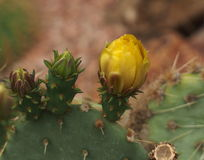 Prickly Pear Cactus In Bloom Royalty Free Stock Image