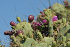 Prickly pear, cactus blooming and fruiting. Stock Images