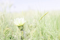 Prickly Pear Cactus Blooming on the Plains of Colorado Stock Photo