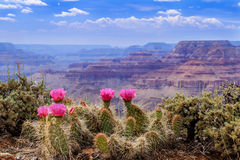 Prickly Pear Cactus Blooms serenely on the rim of the Grand Canyon. Royalty Free Stock Photography