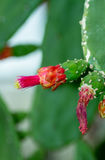 Prickly pear cactus blossom. Closeup of a blossoming prickly pear cactus Royalty Free Stock Images